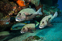 School of sweetlips, Sangalaki, Kalimantan, Indonesia.