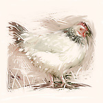 A white hen with speckles