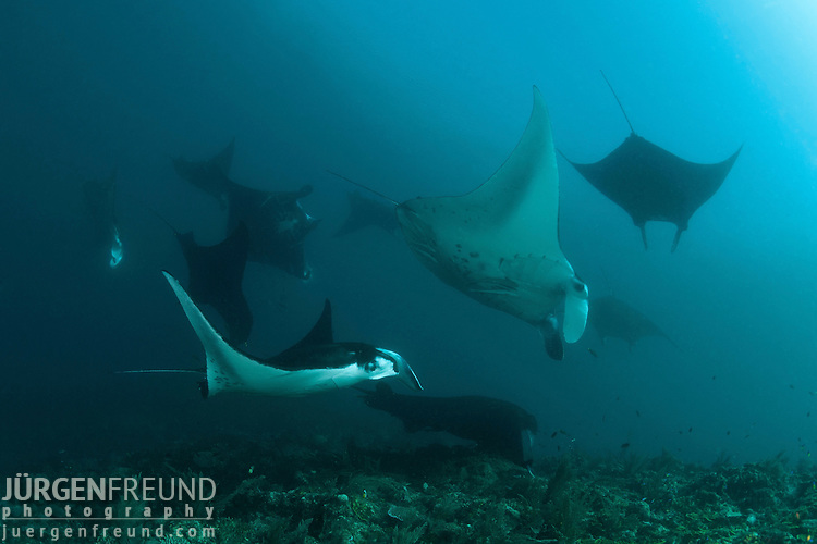 Many manta rays (Manta birostris) getting cleaned by wrasses in a cleaning station.