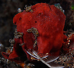 Red Frogfish , Antennarius ocellatus, Underwater macro marine life images;  Photographed in Tulamben; Liberty Resort; Indonesia.Underwater Macro Photographer on FB 2nd Annual event