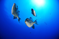 Mittelmeer Drückerfisch, Grauer Drückerfisch, Balistes carolinensis, Balistes capriscus, Grey triggerfish, Azoren, Portugal, Atlantik, Atlantischer Ozean, Azores, Portugal, Atlantic Ocean