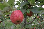 Apple tree at the UCSC Farm