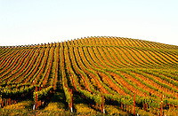 USA, California, Napa Valley, Carneros, grape vineyards