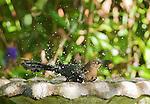 Female great-tailed grackle, Quiscalus mexicanus, in a birdbath at the Hotel Bougainvillea, San Jose, Costa Rica