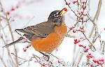 American Robin (Turdus migratorius) male feeding on winterberry (Ilex sp.) fruits in winter, New York, USA
