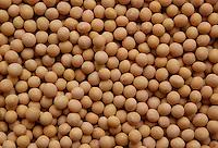 Semi di soia gialla..Seed of yellow soybean..  .