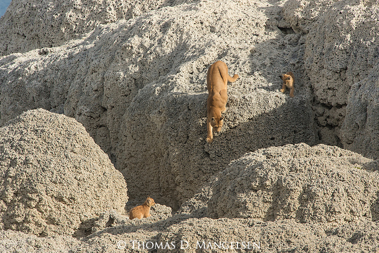 A Puma mother navigates the rocks with her kittens on the rocks in Patagonia, Chile.