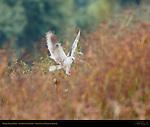 White-Tailed Kite, Ethereal Landing, Sepulveda Wildlife Refuge, Southern California