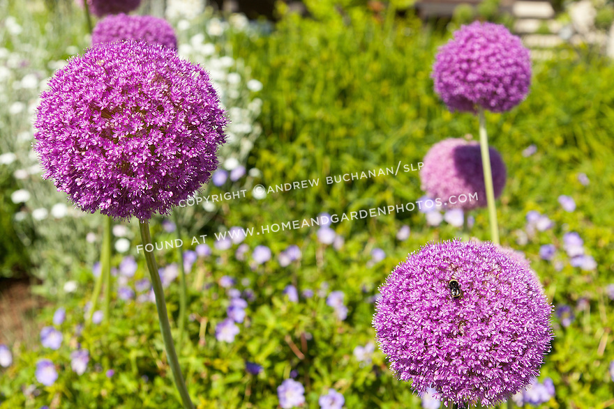 Big purple globe allium stand tall against green foliage in a summer garden.