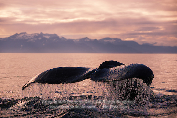 pu1059-D. Humpback Whale (Megaptera novaeangliae) tail flukes at sunset. Alaska, USA, Pacific Ocean..Photo Copyright © Brandon Cole. All rights reserved worldwide.  www.brandoncole.com..This photo is NOT free. It is NOT in the public domain. This photo is a Copyrighted Work, registered with the US Copyright Office. .Rights to reproduction of photograph granted only upon payment in full of agreed upon licensing fee. Any use of this photo prior to such payment is an infringement of copyright and punishable by fines up to  $150,000 USD...Brandon Cole.MARINE PHOTOGRAPHY.http://www.brandoncole.com.email: brandoncole@msn.com.4917 N. Boeing Rd..Spokane Valley, WA  99206  USA.tel: 509-535-3489