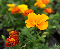 NWA Democrat-Gazette/ANDY SHUPE<br /> Flats of marigolds sit Thursday, April 20, 2017, during the Fayetteville High School plant sale in the school's greenhouse. The plants were grown by students in plant science and greenhouse management classes to benefit those courses and the school's National FFA Organization program.