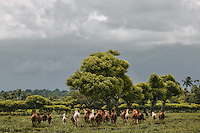 A group of Sumba horses at a ranch in Mbrukulu, Eastern Sumba.
