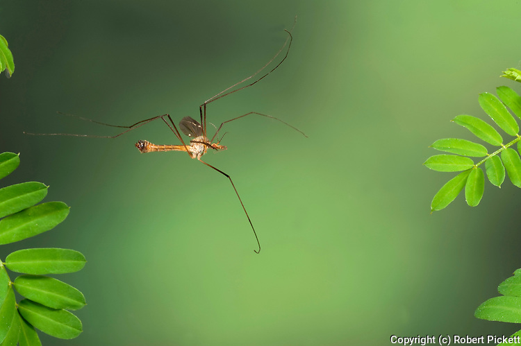 Cranefly, Daddy Long Legs, Tipula paludosa, In flight, free flying, High Speed Photographic Technique.United Kingdom....