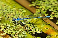 338430011 wild malecalifornia dancer argia argioides perches  on a reed along piru creek near frenchmans flats los angeles county california united states