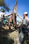 Wild elephant bull, Loxodonta africana, hoisted into position by crane for vasectomy operation in bush by the Elephant Population Management Program team with Dr Jeff Zuba, senior associate veterinarian with the San Diego Zoological Society holding elephant's trunk and Douw Groebler, game capture expert. Private game reserve in Limpopo, South Africa