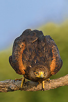 541950081v a wild adult harris hawk parabuteo unicinctus prepares to fly from its perch on a dead tree limb on a ranch in the rio grande valley of south texas
