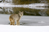 Canada Lynx (lynx canadensis) looking back from the edge of an icy pond near Kalispell, Montana, USA - Captive Animal