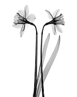 An X-Ray of two daffodils.