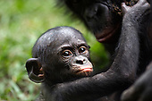 Bonobo baby aged 12-18 months held by mother (Pan paniscus), Lola Ya Bonobo Sanctuary, Democratic Republic of Congo.