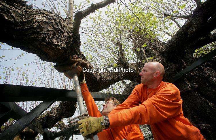 """Foto: VidiPhoto..NUENEN - In Nuenen is dinsdag de restauratie gestart van een van de oudste leilinden van Nederland, de Gerechtslinde op """"De Berg"""". Kuppen Boomverzoring uit Mill is begonnen met het stempelen van de onderste takken. Die dreigen van de boom te scheuren door hun gewicht. De huidige leiconstructie dateert uit het eind van de 19e eeuw en is dringend aan vervanging toe. De Gerechtslinde zelf is bijna 400 jaar oud. De restauratie duurt twee weken."""