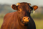 Portrait of a healthy cow standing in her field in the early morning light, Overberg, Western Cape, South Africa