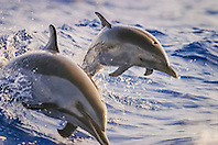pantropical spotted dolphins, Stenella attenuata, mother and calf, jumping out of boat wake, wake-riding, Kona Coast, Big Island, Hawaii, USA, Pacific Ocean