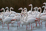 Greater flamingos, Ile de la Camargue, France.