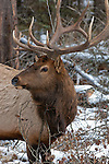 Elk in the woods in winter searching for food