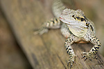Kuranda, Queensland, Australia; Kuranda Koala Gardens, Frill-necked Lizard (Chlamydosaurus kingii) , © Matthew Meier, matthewmeierphoto.com All Rights Reserved
