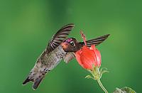 Anna's Hummingbird, Calypte anna, male in flight feeding on Turk's Cap (Malvaviscus drummondii),Tucson, Arizona, USA