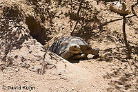 0609-1008  Desert Tortoise Emerging from Burrow to Forage for Food (Mojave Desert), Gopherus agassizii  © David Kuhn/Dwight Kuhn Photography