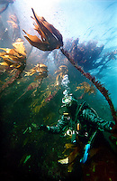 Diver in kelp forest off the Norwegian coast.  Strømsholmen Diving Center lies along Atlanterhavsveien, the Atlantic road, on the West coast of Norway.