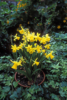 Narcissus Tete-e-Tete Daffodils in pot container in spring bulb  yellow flowers set into ivy outdoors