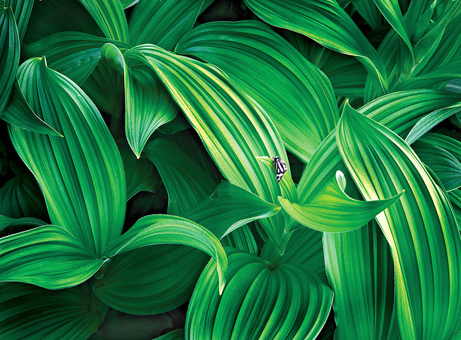 butterfly on cornlilly