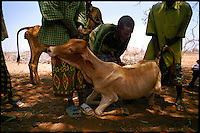 El Ram, NE Kenya, March 2006.People trying to raise their dying cattle to feed them in a last hope to save them. More than 4 millions people are affected in the region by the worst drought in man's memory. The livestock is decimated and a whole lifestyle threatened.