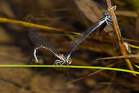 338520004 a wild mated pair of lavendar dancer damselflies argia hinei perch in copula on a grass reed in bear creek cochise county arizona united states