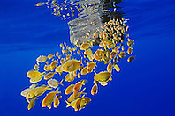 freckled driftfish, Psenes cyanophrys, sheltering under abandoned plastic gasoline tank in open ocean, offshore, Kona coast, Big Island, Hawaii, USA, Pacific Ocean