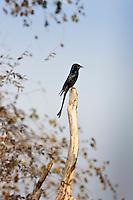 Black Drongo, Dicrurus macrocercus, bird in Ranthambhore National Park, Rajasthan, Northern India