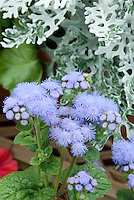 Ageratum High Tide Blue, flowers annual, with Senecio cineraria Silver Dust, Dusty miller foliage plant, blue and white color theme combination