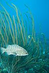 Bonaire, Netherlands Antilles; a Tiger Grouper (Mycteroperca tigris) fish hovers near a large sea rod , Copyright © Matthew Meier, matthewmeierphoto.com All Rights Reserved