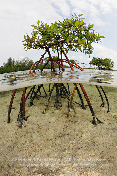 qa32124-D. Red Mangroves (Rhizophora mangle), split view showing buttress-like root system. Bahamas, Atlantic Ocean. .Photo Copyright © Brandon Cole. All rights reserved worldwide.  www.brandoncole.com..This photo is NOT free. It is NOT in the public domain. This photo is a Copyrighted Work, registered with the US Copyright Office. .Rights to reproduction of photograph granted only upon payment in full of agreed upon licensing fee. Any use of this photo prior to such payment is an infringement of copyright and punishable by fines up to  $150,000 USD...Brandon Cole.MARINE PHOTOGRAPHY.http://www.brandoncole.com.email: brandoncole@msn.com.4917 N. Boeing Rd..Spokane Valley, WA  99206  USA.tel: 509-535-3489
