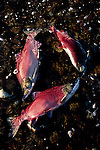 Dead sockeye salmon float in the water in Funnel Creek on the Alaska Peninsula.