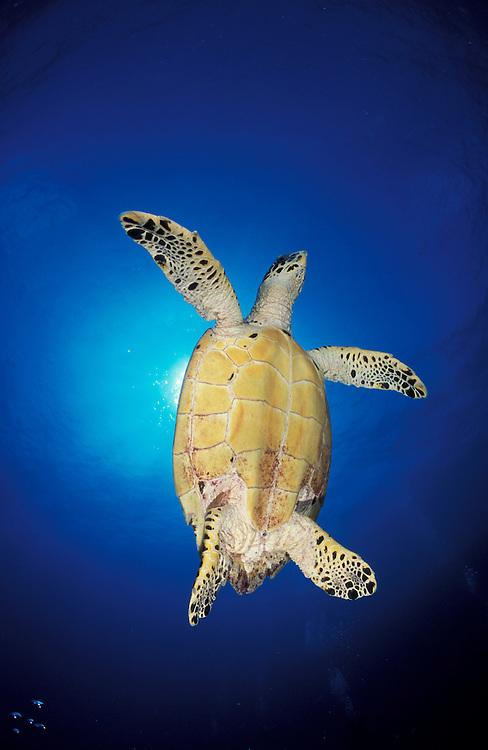 Hawksbill turtle (Eretmochelys imbricata) a critically endangered species, underside view against sunburst, South Ari Atoll, Maldives