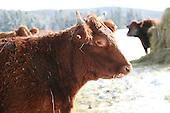 Red Saler beef animal in outdoor feedlot in winter