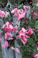 Clematis 'Alionushka' pink flowered climbing perennial vine on blue wood picket fence