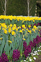 Hyacinth Woodstock, Yellow Daffodils, English Daisies Bellis perennis Belissima White &amp; Birch Trees in spring bloom, wide view, with green hedge, purple and yellow and white colors