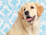 Portrait of Golden Retriever puppy with daydreaming expression