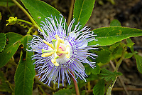 Wild passionflower growing in a field in the Lake Talquin State Forest in North Florida.
