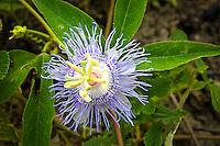 Passifloraceae (Passionflowers)