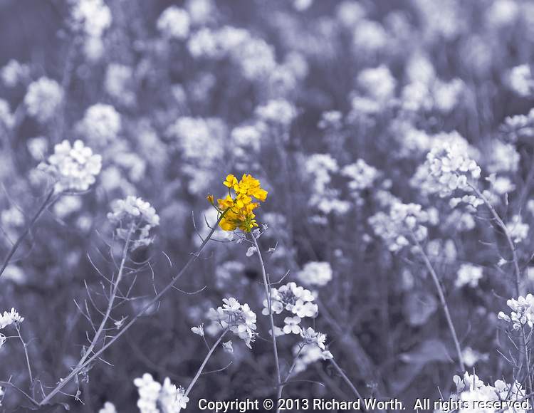 A black and white image of field mustard with a splash of the yellow flowers in color.